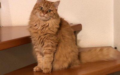 Katze in Scharnstein entlaufen